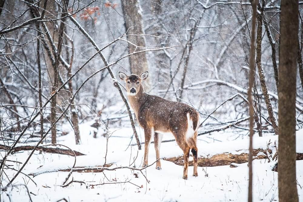 雪の中にいる鹿