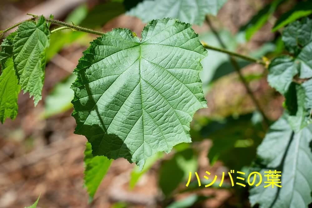 ハシバミの葉